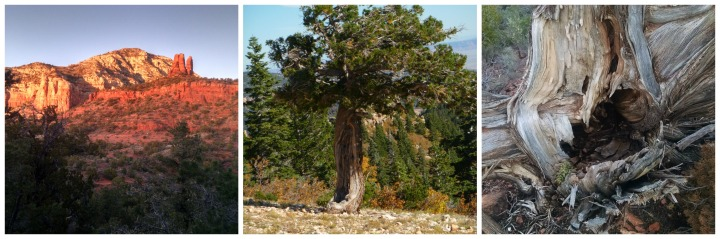 holy juniper