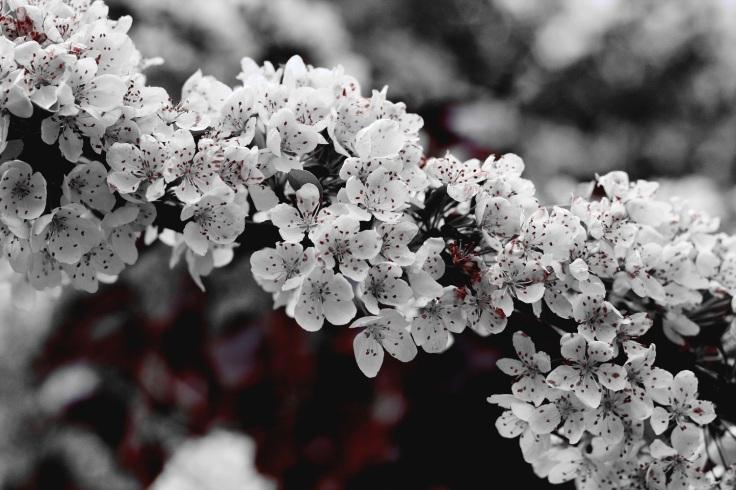 laura-johnston-apple blossom