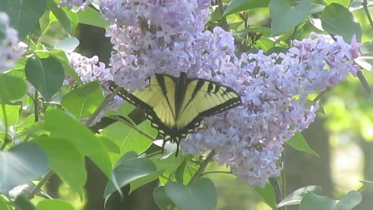 lilac monarch